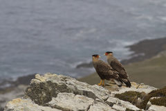 Pair of Southern Caracara - Falkland Islands Stock Photos