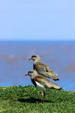 Pair of Southern Lapwings Royalty Free Stock Photo