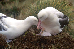 A pair of Southern Royal Albatross. (Diomedea epomophora at their nest on Campbell Island with young chick Stock Image