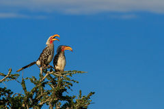 A pair of Southern Yellow-billed Hornbill perched on a tree top. Calling with blue sky behind royalty free stock image