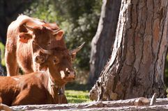 Pair of Spanish Cows in the Sunshine Royalty Free Stock Images