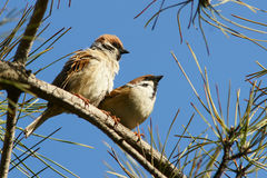 A pair of sparrow stock photography