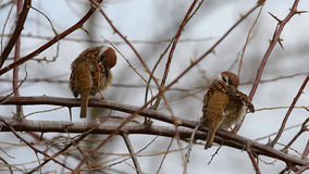 The pair of sparrows on a branch in the spring. The sparrows clean the feathers after the first rain together Royalty Free Stock Photo