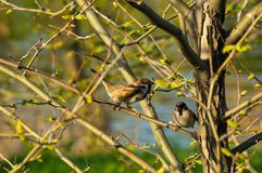 Pair of sparrows in the branches of a tree. With blossoming spring leaves stock photography