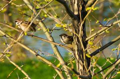 Pair of sparrows in the branches of a tree. With blossoming spring leaves royalty free stock photography