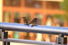 A pair of Sparrows in Hong Kong stock image