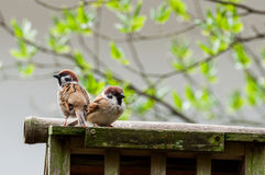 A pair of sparrows Stock Images