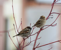 Pair of sparrows sitting on a red twig Royalty Free Stock Photo