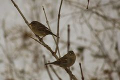 Pair of Sparrows Royalty Free Stock Photo