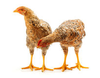 Pair of speckled pullets standing on white Royalty Free Stock Photo