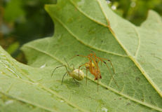 Pair of spiders. A pair of spiders on a leaf Royalty Free Stock Photos