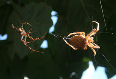 Pair of spiders trying to mate on web Stock Images