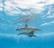 Pair of spinner dolphins underwater stock photography