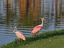 A Pair of Spoonbills, Florida. Stiking pink color distinguishes the spoonbills found in Florida and othe gulf coast waters Royalty Free Stock Image