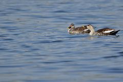 Spot billed duck royalty free stock images