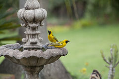 Pair of spotted backed weavers at fountiain Royalty Free Stock Photography