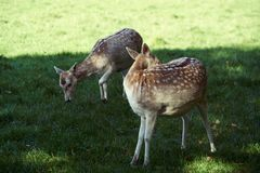 A pair of spotted deer Royalty Free Stock Photo