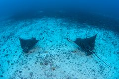 Pair of Spotted Eagle Rays in Cocos Island. A pair of Spotted eagle rays, Aetobatus laticeps, cruises over the deep seafloor near Cocos Island, Costa Rica. This royalty free stock photos