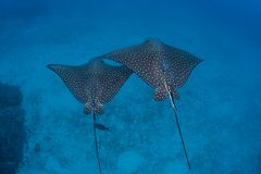 Pair of Spotted Eagle Rays. A pair of Spotted eagle rays cruise over the deep seafloor near Cocos Island off the Pacific coast of Costa Rica stock photo