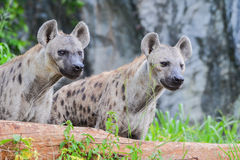 A pair of Spotted hyena (Crocuta crocuta). Is staring something Royalty Free Stock Photo