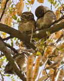 A pair of spotted owlets Stock Photography