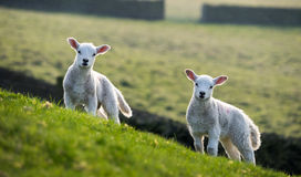 Pair of spring lambs Royalty Free Stock Image