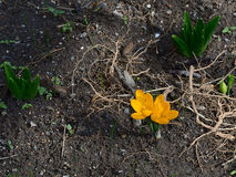 The pair of spring yellow crocus. The spring flowers are growing on flowerbed Stock Images