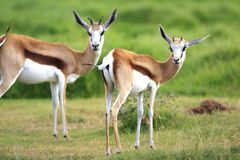 Pair of springbuck Royalty Free Stock Photography