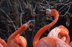 Pair of Squabbling American Flamingos Royalty Free Stock Photos