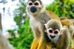 Pair of Squirrel Monkeys Stock Photo