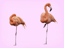 Pair of standing Flamingos. Illustration format of a landscape photograph of two standing Flamingos one sleeping one with its eye on camera. Background has been Stock Photo