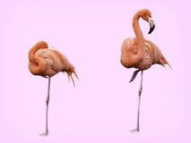Pair of standing Flamingos Stock Photo