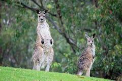 Pair of Standing Wet Kangaroos. Two Australian kangaroos standing in a grass field during rain Stock Image
