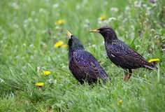 Pair of starlings Stock Photos