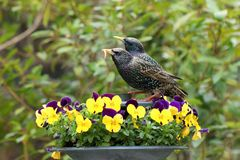 Pair of starlings feeding amongst pansies. A shiny pair of starlings feeding on mealworms amongst colorful pansies Stock Photo