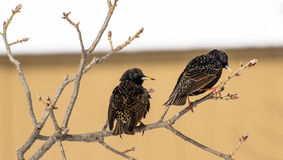 A Pair Of Starlings Looking For Food Royalty Free Stock Photo