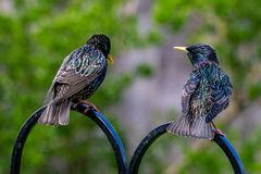A pair of Starlings Sturnus vulgaris looking as if they are discussing all things food related whilst perched on a garden bird stock photo