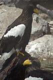 Steller`s sea eagle stock photography