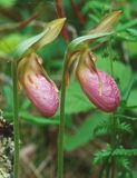 A pair of Stemless Orchids bloom in a Minnesota bog. The `Stemless` Lady`s Slipper Orchid Cypripedium acule is a wild orchid commonly found in the central to stock images