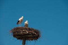 Pair of storck on nest. With blue sky behind Royalty Free Stock Photo