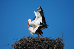 Pair of storks Royalty Free Stock Image