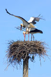 Pair of storks Royalty Free Stock Images