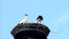 Pair storks in her nest, spring, blue sky, copy space stock footage