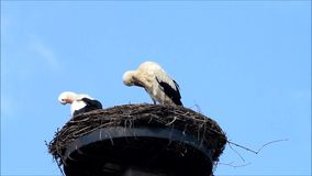 Pair storks in her nest, spring, blue sky, copy space stock video
