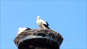 Pair storks in her nest stock video