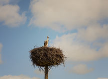 Pair of storks Stock Images