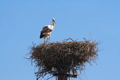 The pair of storks in nest. The pair of white storks in nest Royalty Free Stock Image