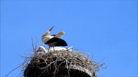 Pair storks in nest stock video footage