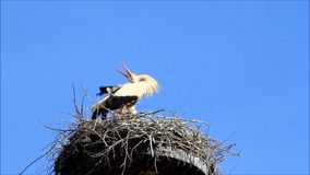 Pair storks in nest. Blue sky, copy space stock video footage