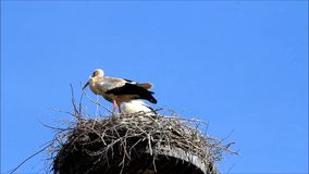 Pair storks in nest, blue sky stock footage